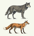 wild grey wolf and red fox engraved hand drawn vector image vector image