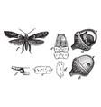 acorn moth vintage vector image vector image