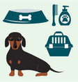 little dachshund puppy cute brown purebred mammal vector image