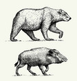 wild bear grizzly and boar or pig engraved hand vector image vector image