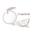 Grapefruit in engraving design vector image