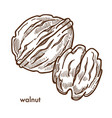 healthy delicious walnut in hard shell and peeled vector image