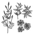 hand drawn set verbena flowers leaves and vector image vector image