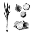 Hand drawn set of onion sketch vector image vector image