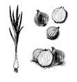 Hand drawn set of onion sketch vector image vector image