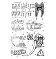 teeth of man and several animal species vintage vector image vector image
