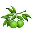 Fresh limes on the branch vector image vector image