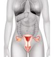 Female genitals in human body vector image vector image