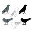 pigeons carriers domestic breeds sports birds vector image vector image