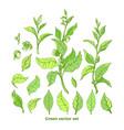 set nature branch leaves flower green tea bush vector image