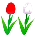 Tulips red and white vector image