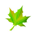 green autumn leaf fallen from maple tree vector image vector image