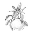 hand drawn blooming grapefruit branch with ripe vector image vector image
