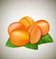 Apricots with leaves vector image