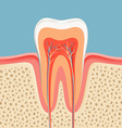 human tooth in a cut vector image vector image