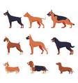 purebred dogs collection doberman american vector image vector image