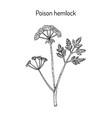 poison hemlock conium maculatum medicinal plant vector image vector image