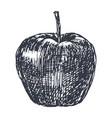 apple hand drawn sketch in grunge style vector image
