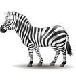 cartoon funny zebra posing isolated on white backg vector image