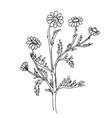 doodle chamomile medicinal plant black outline vector image vector image