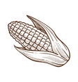 corn with leaves maize cob sketch drawing vector image