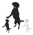 black labrador dog jumping isolated on white vector image