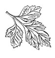a sprig of parsley drawn contour vector image