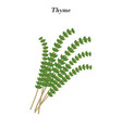 thyme herb vector image vector image