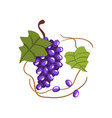fresh bunch of red grapes winery production vector image vector image