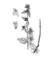 ballota nigra gravure vector image vector image