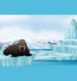 scene with big walrus on ice vector image
