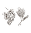 wheat and hop bunches isolated on white background vector image