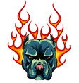 bull dog flame tattoo in beast mode vector image vector image