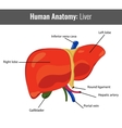 Human Liver detailed anatomy Medical vector image vector image