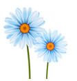 camomile flowers vector image