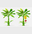 tropical banana palm trees vector image