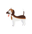a funny and cute beagle dog stands with his tongue vector image vector image