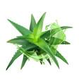 aloe realistic plant green vera medicine
