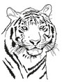 tiger drawn with a black outline coloring vector image