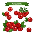 colorful branch of Cranberry vector image vector image