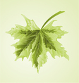 Maple leaf acer platanoides Drummondii vector image