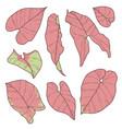 syngonium pink neon robusta vector image
