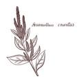drawing amaranth plant