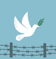 symbol peace white dove flies over barbed wire vector image