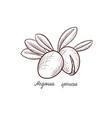 drawing nuts argania vector image