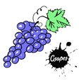 Bunch of black grapes vector image vector image