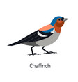 chaffinch isolated on white background lovely vector image vector image