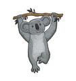 koala bear on tree sketch engraving vector image
