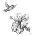 humming bird and hibiscus sketch vector image vector image