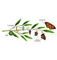 butterfly metamorphosis composition vector image vector image